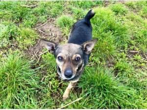 PIP - Chihuahua (Smooth coat) Photo