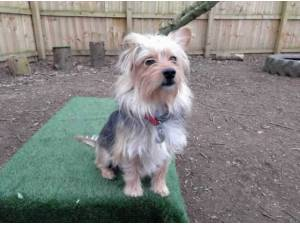 JUDY - Yorkshire Terrier  crossbreed Photo