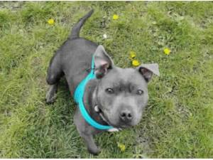 PENELOPE - Staffordshire Bull Terrier Photo