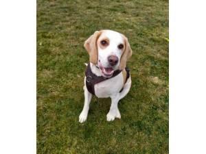 George - Male Beagle Photo