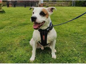 CHEDDAR - Staffordshire Bull Terrier Photo