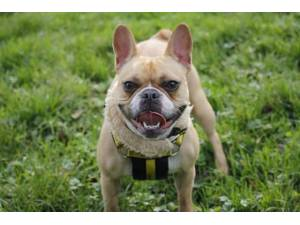 Betty Boop - Female Bulldog: French Photo