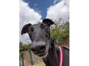 Charlie - Male Greyhound Photo
