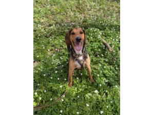Elvis - Male Foxhound Photo