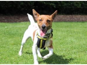 Lexi - Female Jack Russell Terrier (JRT) Photo