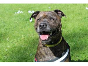 Rusty - Male Staffordshire Bull Terrier (SBT) Photo