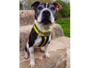 Snoopy - Male Staffordshire Cross (SBT) Photo