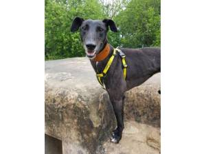 Stella - Female Lurcher Photo