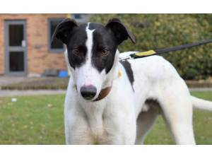 Watson - Male Greyhound Photo
