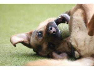 Callie - Female German Shepherd Dog (GSD / Alsatian) Photo