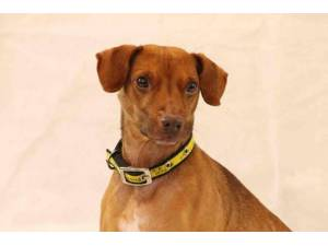 Fudge - Male Patterdale Terrier Photo