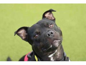 King - Male Staffordshire Bull Terrier (SBT) Photo
