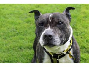 Ozzy - Male Staffordshire Bull Terrier (SBT) Photo