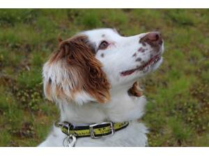 Penny - Female Spaniel: Welsh Springer Photo