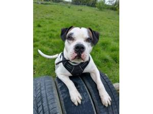 Ronnie - Male American Bulldog Photo