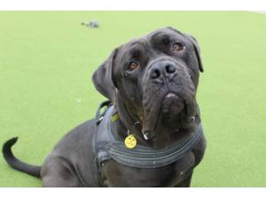 Shadow - Male Mastiff: Bull Photo