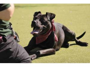Tweed - Male Staffordshire Cross (SBT) Photo