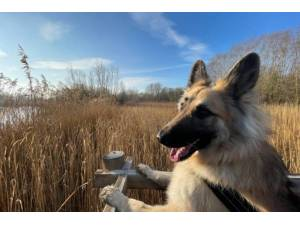 Alba - Female German Shepherd Dog (Alsatian) Photo
