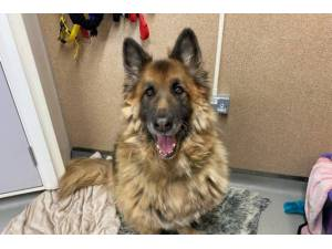 Diesel - Male German Shepherd Dog (Alsatian) Photo