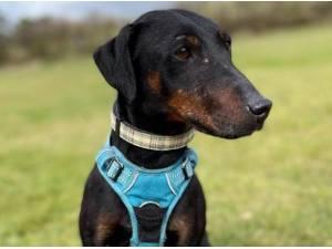 DIZZY - Terrier  crossbreed Photo
