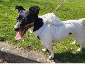 MICAH - Jack Russell Terrier Photo