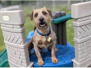 JACKSON - Patterdale Terrier (Fell Terrier)  crossbreed Photo