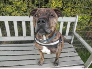 DUKEY - Staffordshire Bull Terrier