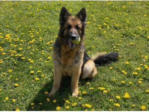 NEESHA - German Shepherd Photo
