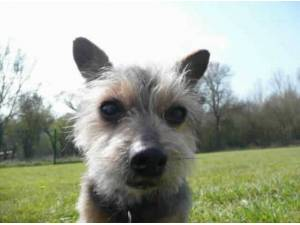 NIGEL - Yorkshire Terrier  crossbreed Photo