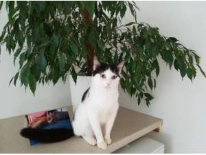 DOTTY - ASSISTED ADOPT - Domestic Shorthair  crossbreed Photo