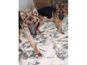 Bonnie and Clyde - Male German Shepherd Dog Photo
