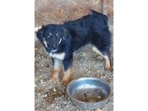 Kizzi - Male German Shepherd Dog Photo