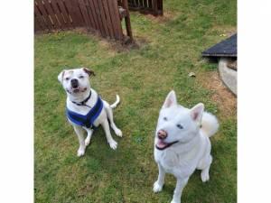 Akita For Adoption in Cheltenham