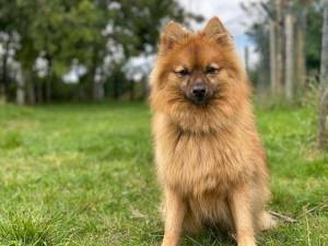 Max - Male Pomeranian Photo