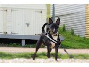 Brian - Male Terrier: English Bull Photo