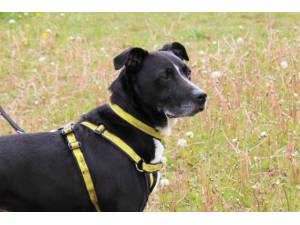 Buster - Male Staffordshire Cross (SBT) Photo