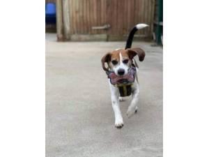 Frank - Male Beagle Photo