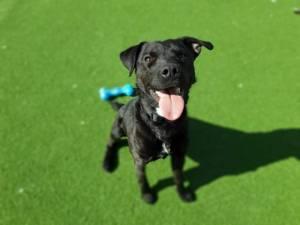 Jake - Male Patterdale Terrier Photo