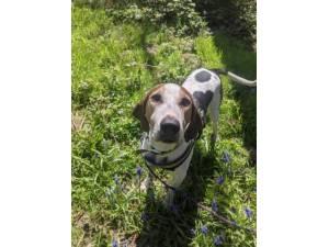 Rocky - Male Trailhound Photo