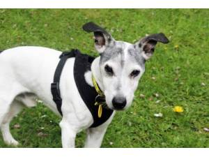 Snoopy - Male Jack Russell Terrier (JRT) Photo