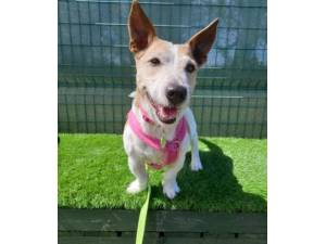 Tina - Female Jack Russell Terrier Photo