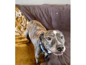 Maggie - Female Staffordshire Bull Terrier Photo