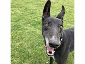Greyhound For Adoption in Rotherham