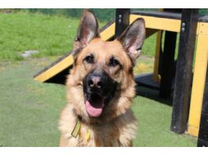Axil - Male German Shepherd Dog (GSD / Alsatian) Photo