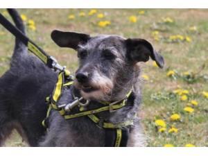 Ebi - Female Jack Russell Terrier (JRT) Photo