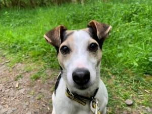 Patch - Male Jack Russell Terrier (JRT) Photo