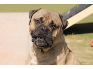 Cooper - Male Mastiff: Old English Photo