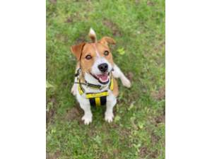 Jack - Male Jack Russell Terrier (JRT) Photo