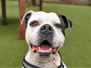 Rosco - Male American Bulldog Photo