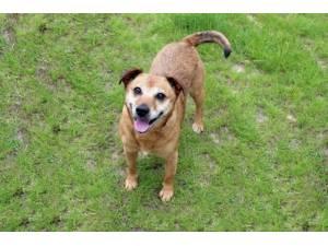 Sandy - Female Terrier Cross Photo